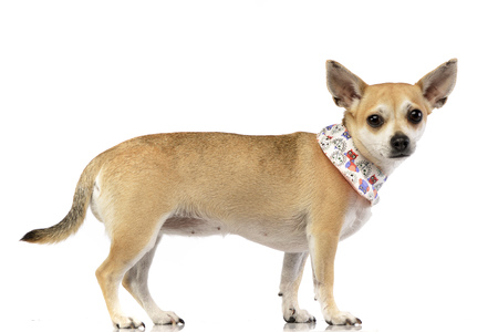 Studio shot of an adorable Chihuahua standing on white background. Stock Photo
