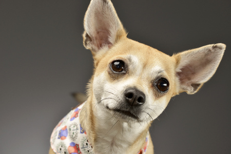 Portrait of an adorable Chihuahua - studio shot, isolated on grey. Stock Photo