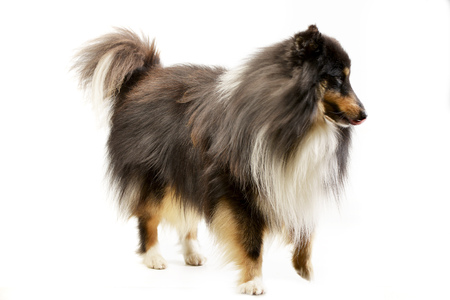 Studio shot of an adorable Sheltie standing on white background. Stock Photo