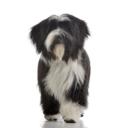 Studio shot of an adorable Tibetian terrier standing on white background. Stock fotó