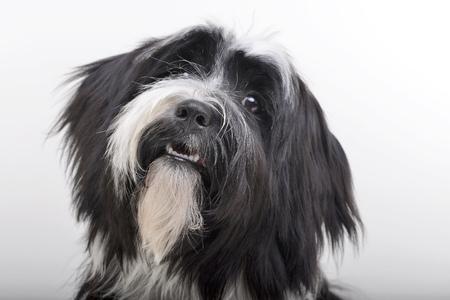 tibetian: Portrait of an adorable Tibetian terrier - studio shot, isolated on white.
