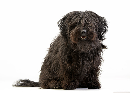 Studio shot of an adorable Puli sitting on white background.