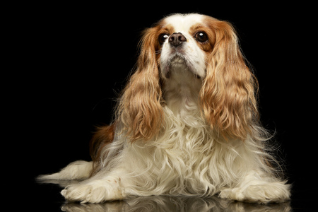 Studio shot of an adorable American Cocker Spaniel sitting on black background. Stock Photo