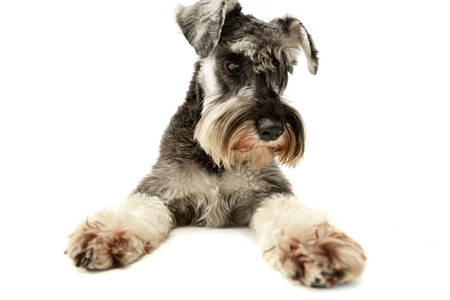 Studio shot of an adorable miniature schnauzer sitting on white background. Standard-Bild