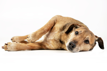 Studio shot of an adorable mixed breed dog lying on white background. Stock Photo