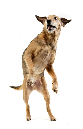 An adorable mixed breed dog standing on hind legs - studio shot, isolated on white.