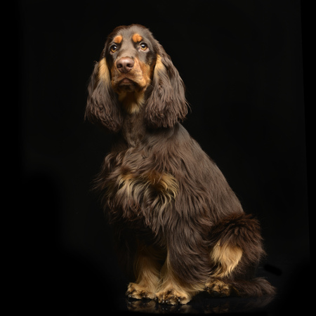 Studio shot of an adorable English Cocker Spaniel sitting on black background.