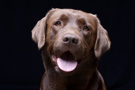 Portrait of an adorable Labrador retriever - studio shot, isolated on black.