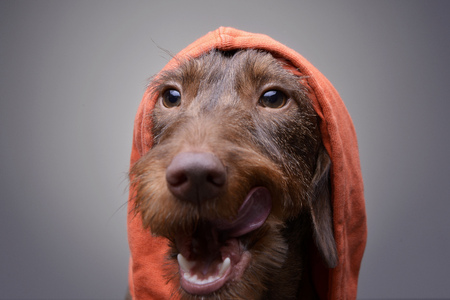 long nose: Portrait of a cute Dachshund puppy in orange clothes  - studio shot, isolated on grey.