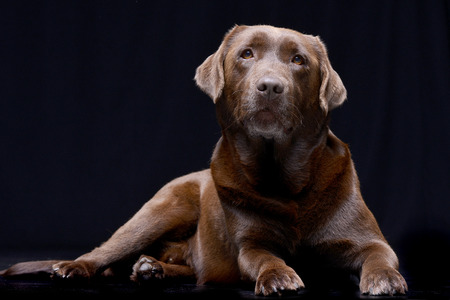 Studio shot of an adorable Labrador retriever lying on black background.