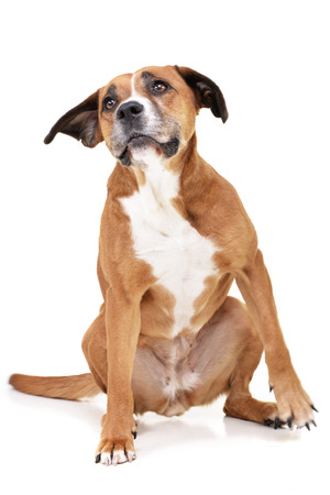 Studio shot of an adorable Staffordshire Terrier sitting on white background.