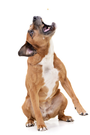 Studio shot of an angry Staffordshire Terrier sitting on white background.