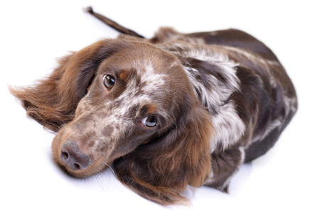 long nose: Studio shot of a cute Dachshund puppy lying on white background. Stock Photo