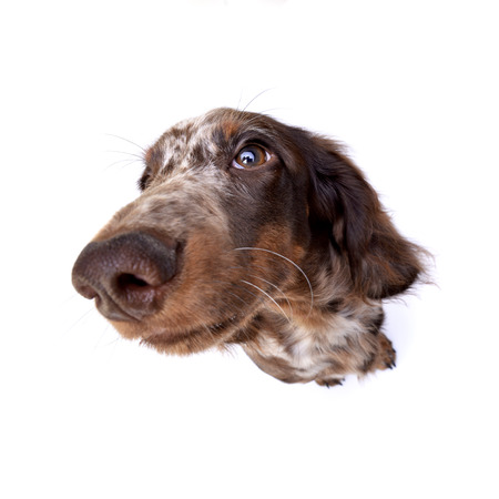 long nose: Wide angle portrait of a cute Dachshund puppy - studio shot, isolated on white.