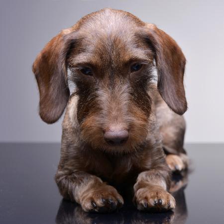 Studio shot of a cute Dachshund puppy lying on grey background.