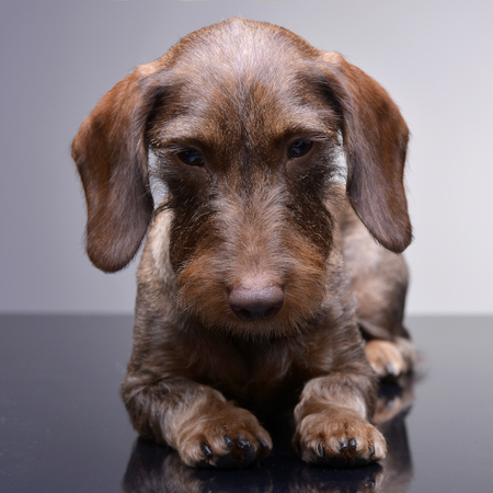 long nose: Studio shot of a cute Dachshund puppy lying on grey background.