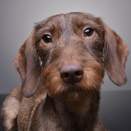 long nose: Portrait of a cute Dachshund puppy - studio shot, isolated on grey. Stock Photo