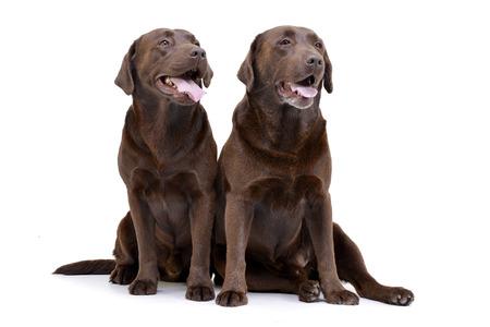 Studio shot of two adorable Labrador retriever sitting on white background.