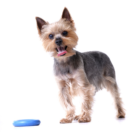 A cute Yorkshire Terrier with a blue rubber ring - studio shot, isolated on white.