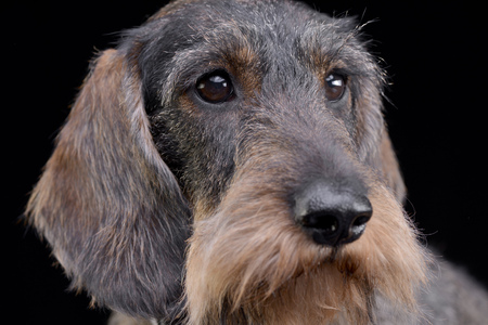 long nose: Portrait of an adorable Dachshund - studio shot, isolated on black. Stock Photo