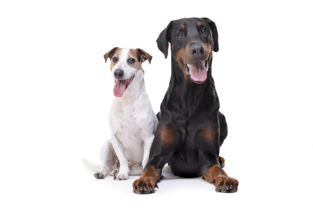 Studio shot of an adorable Jack Russell Terrier and a Dobermann sitting on white background.
