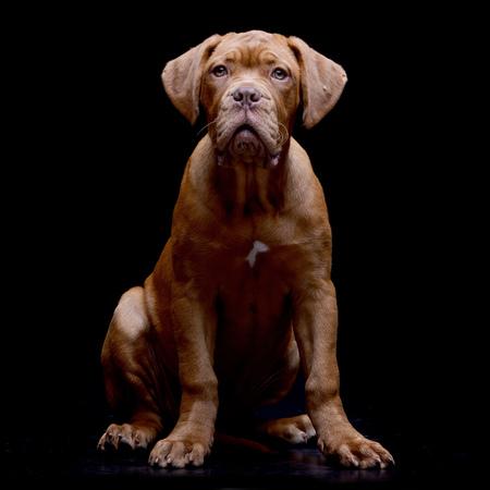 Studio shot of an adorable Dogue de Bordeaux sitting on black background.