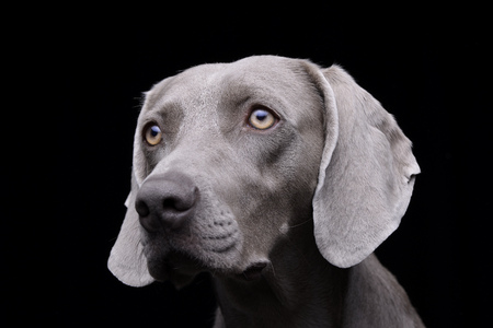 Portrait of an adorable Weimaraner - studio shot, isolated on black. Standard-Bild