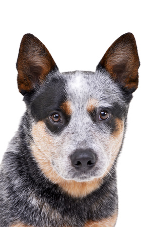Portrait of an adorable Australian Cattle Dog - studio shot, isolated on white. Stock Photo