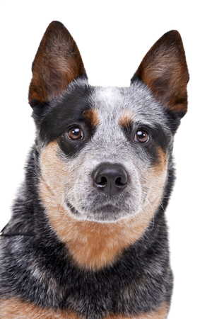 Portrait of an adorable Australian Cattle Dog - studio shot, isolated on white. Stock Photo