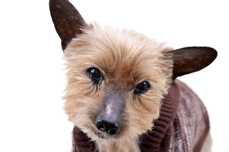 Portrait of a blind Yorkshire terrier - studio shot, isolated on white.