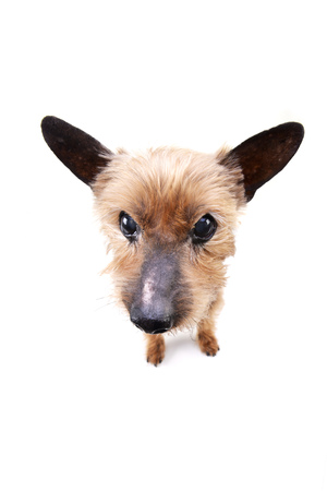 Wide angle portrait of a blind Yorkshire terrier - studio shot, isolated on white. Stock Photo
