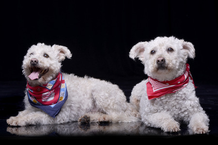 Studio shot of two adorable Poodle wearing colorful scarf - isolated on black. Stock Photo