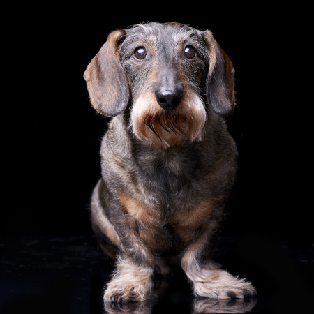 long nose: Studio shot of an adorable Dachshund sitting on black background.
