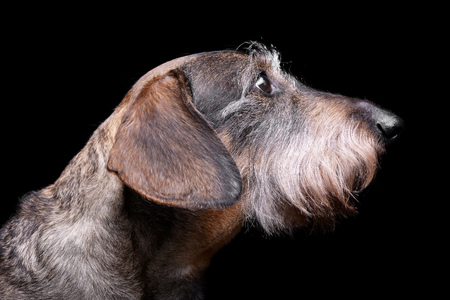 long nose: Portrait of an adorable Dachshund, studio shot, isolated on black.