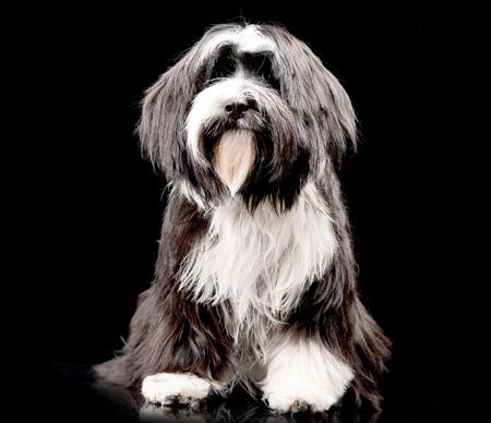 long nose: Studio shot of an adorable Tibetan Terrier sitting on black background.