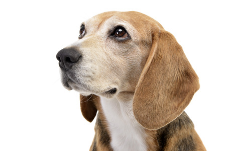 long nose: Portrait of an adorable Beagle - studio shot, isolated on white. Stock Photo