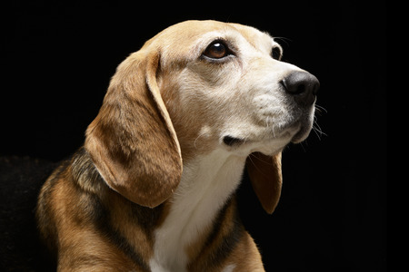 long nose: Portrait of an adorable Beagle - studio shot, isolated on black.