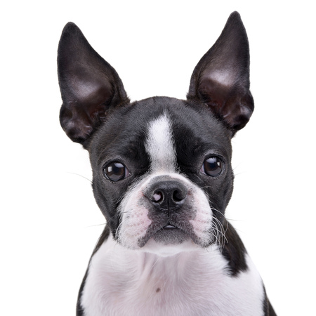 Portrait of an adorable Boston Terrier - studio shot, isolated on white.