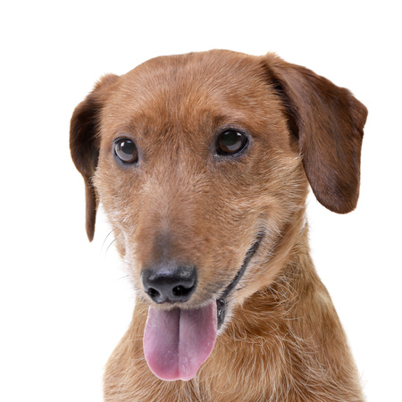 Portrait of an adorable mixed breed dog - studio shot, isolated on white. Stock Photo