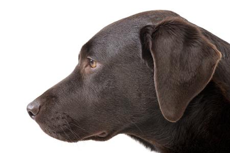 Portrait of an adorable Labrador retriever - studio shot, isolated on white. Stock Photo