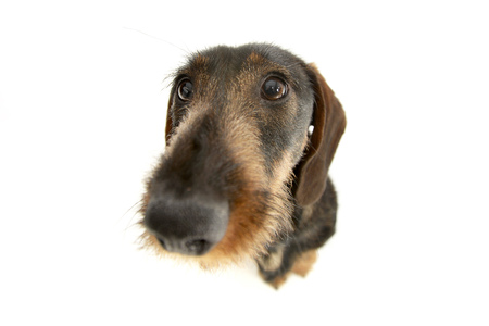 long nose: Wide angle portrait of an adorable Dachshund - studio shot, isolated on white.