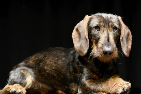 long nose: Studio shot of an adorable Dachshund lying on black background.