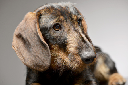 long nose: Portrait of an adorable Dachshund - studio shot, isolated on grey.