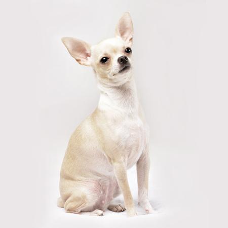 Atelieraufnahme von entzückenden Chihuahua, die auf weißem Hintergrund sitzen. Standard-Bild - 77833840