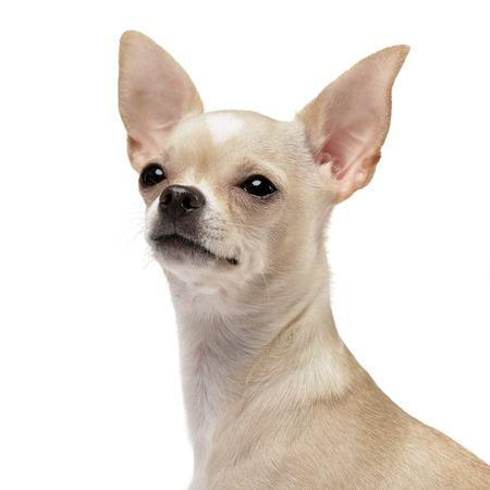 Porträt einer adorable Chihuahua - Studio shot, isoliert auf weiß. Standard-Bild - 77833843
