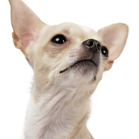 Portrait of an adorable Chihuahua - studio shot, isolated on white. Stock Photo