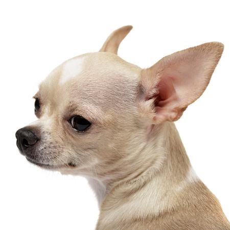 Porträt einer adorable Chihuahua - Studio shot, isoliert auf weiß. Standard-Bild - 77833839