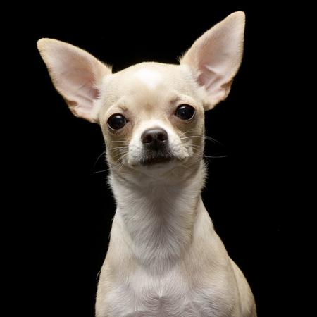 Porträt eines entzückenden Chihuahua - Atelieraufnahme, lokalisiert auf Schwarzem. Standard-Bild - 77833847