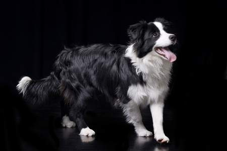 Studio shot of an adorable Border Collie standing on black background.