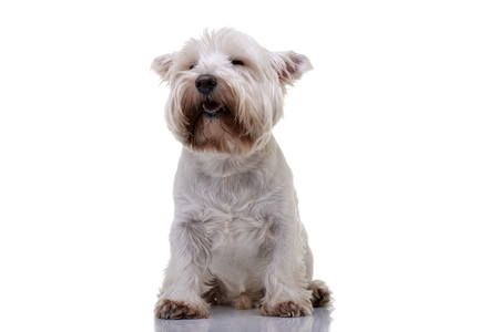 Studio shot of an adorable West Highland White Terrier sitting on white background.